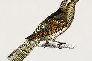 Eurasian wryneck bird (PSD)
