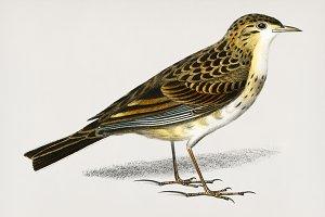 Richard 's pipit bird (PSD)
