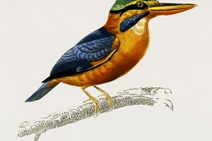 Rufous-collared kingfisher bird(PSD)