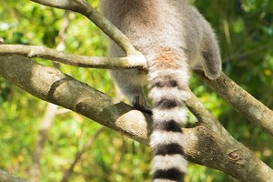 Lemur by itself in a tree during the