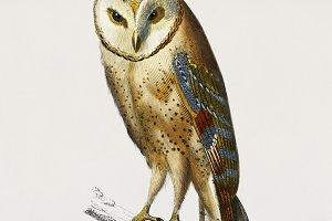 Chouette effraie bird (PSD)