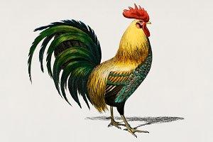 Cock chicken hand drawn (PSD)