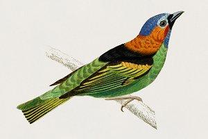 Tanagra cyanocephala bird (PSD)