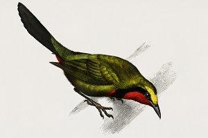 Lanius gutturalis bird (PSD)