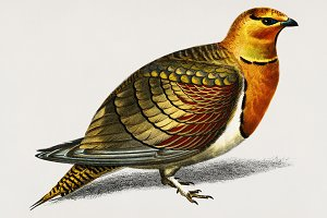 Pin-tailed sandgrouse bird (PSD)