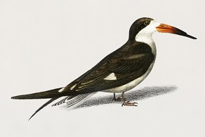 Bec-en-ciseaux noir bird (PSD)