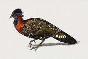 Tragopan de Hastings bird (PSD)