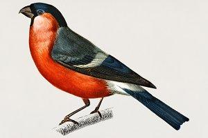 Pyrrhula pyrrhula bird (PSD)