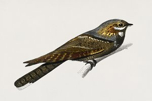 European Nightjar bird (PSD)