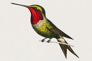 Amethyst Woodestar bird (PSD)