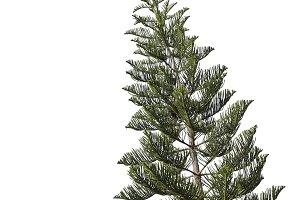 spruce tree isolated on white