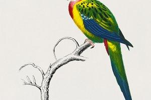 Psittcus Carolinesis bird (PSD)