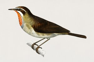Siberian Rubythroat bird (PSD)
