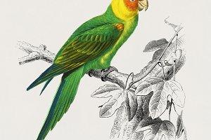 Psittacus Eximius bird (PSD)