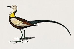 Pheasant-tailed jacana bird (PSD)