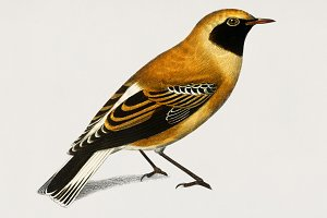 Russet Wheatear bird hand drawn(PSD)