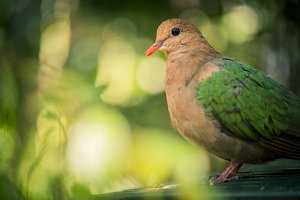 Single colourful dove resting