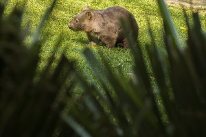 Adorable large wombat during the day