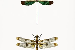 Different types of dragonflies