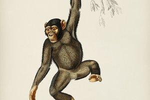 Chimpangze (Troglodyte Chimpanze)
