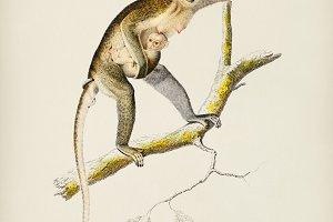 Cercopithecus griseus (Guenon Grivet