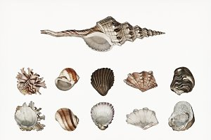 Sea shells Illustration (PSD)