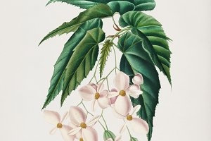 Begonia flower hand drawn (PSD)