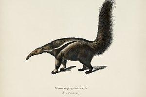 Giant anteater (Myrmecophaga tridact