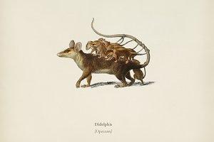 Opossum (Didelphis)