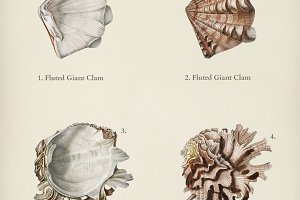 Fluted giant clam and Murex