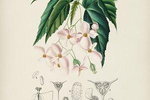 Begonia (Begonia incarnata)