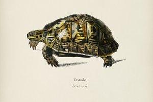 Tortoises (Testudo)