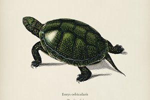 Pond turtle (Emys orbicularis)