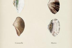 Crassatella and Maetra