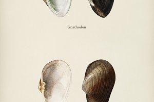 Gnathodon and Mya