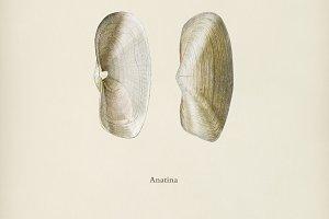 Anatina