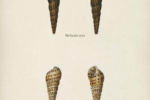 Melania atra and Pyramidella maculos