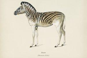 Mountain Zebra (Dauw)