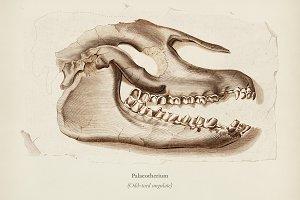 Odd-toed ungulate (Palaeotherium)