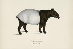Malayan Tapir (Equus Montanus)