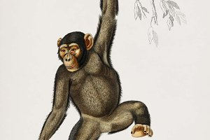 Illustration of a monkey (PSD)