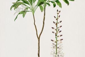 Dracaena brasiliensis plant (PSD)
