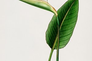 Bird of paradise flower (PSD)