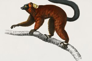 Illustration of a lemur