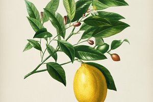 Lemon (Citrus Limonium)