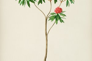 Rhododendron arboreum