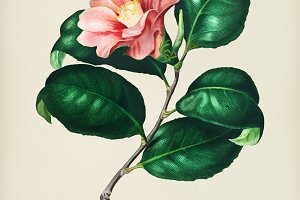 Camellia japonica (Camélia du Japon)