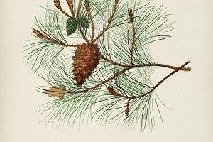 Martime pine (Pinus maritima)