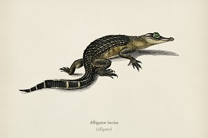 Alligator (Alligator incius)