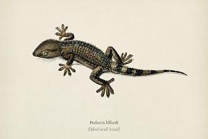 Lilford'swall lizard (Podarcis lilfo